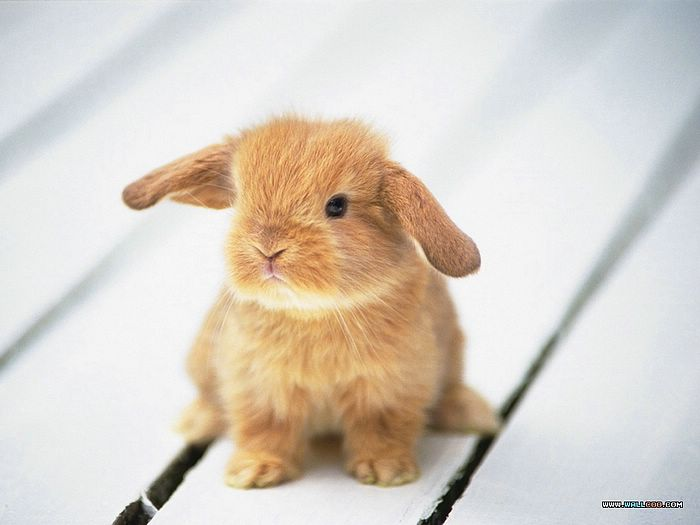 Photo: Cutest Baby Bunny - Cuddly Lop Ear Baby Bunny ...