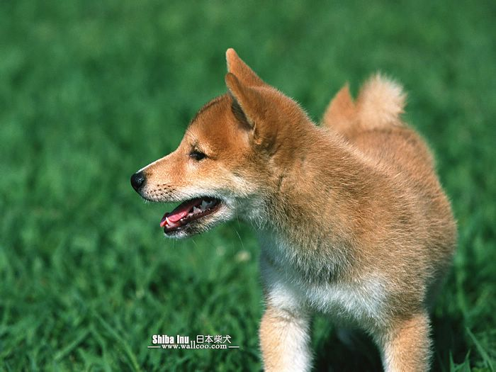 puppy dog wallpaper. Shiba Inu Puppy Wallpapers