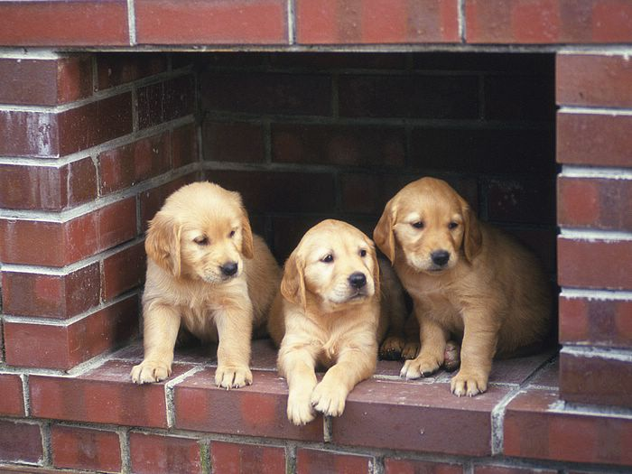 cute golden retriever puppy pics. Golden Retriever Puppies