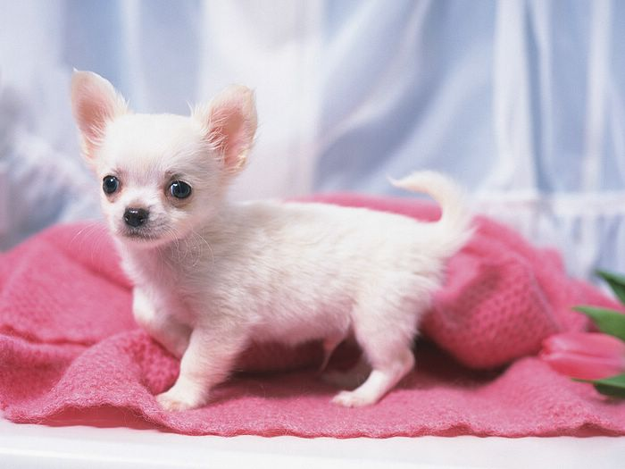 chihuahua puppies pictures. Cute Chihuahua Puppy