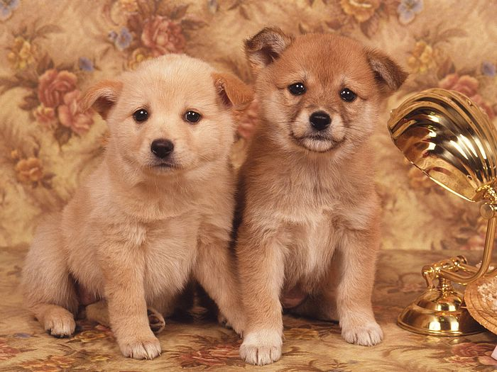 Lovely Puppy Wallpaper pics Lovely Puppy