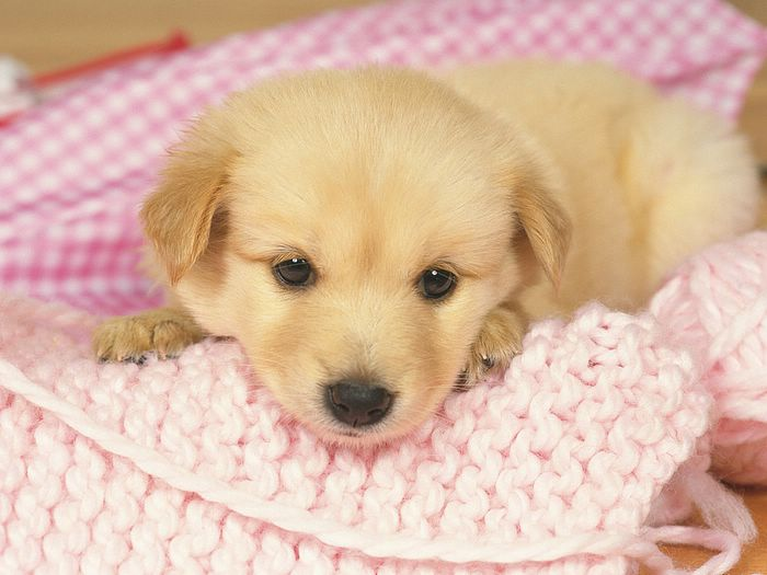 golden retriever puppy pictures. Golden Retriever Puppy