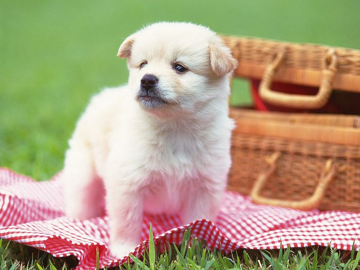 cute puppies wallpapers. Picnic - Cute Puppy on