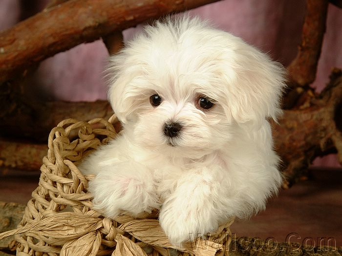 images of puppies and dogs. White Puppy Dog pictures,