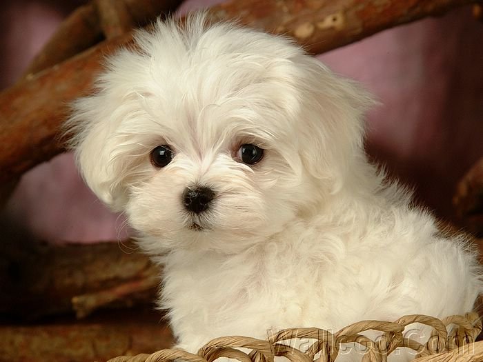 Puppies And Dogs. White Puppy Dog pictures,