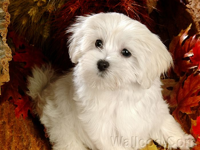 Puppy dog 83255 desktop wallpapers 2 lovely white puppy dog 83254