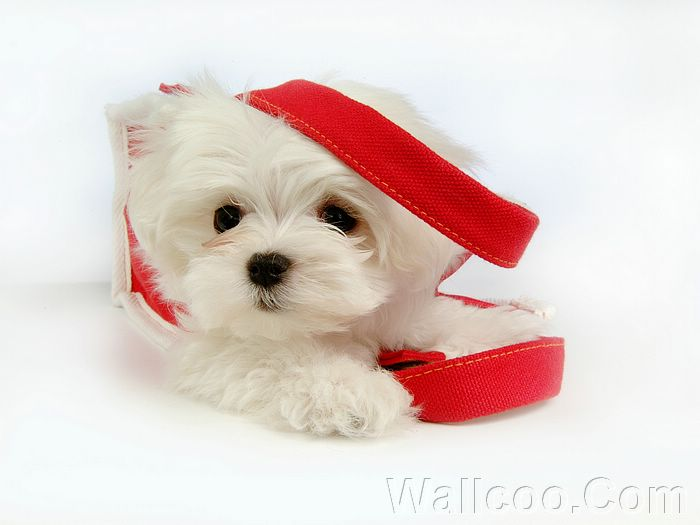 cute puppies wallpaper. Puppies wallpaper 、Cute