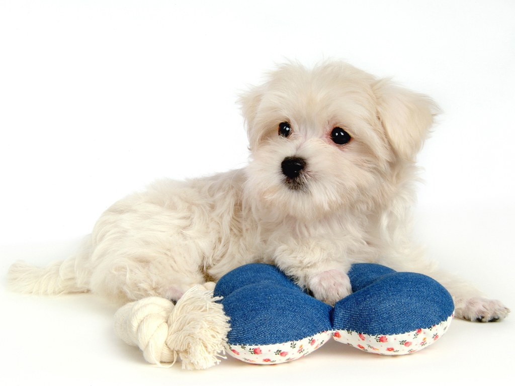 Fluffy maltese puppy dogs white maltese puppies wallpapers 1024 768