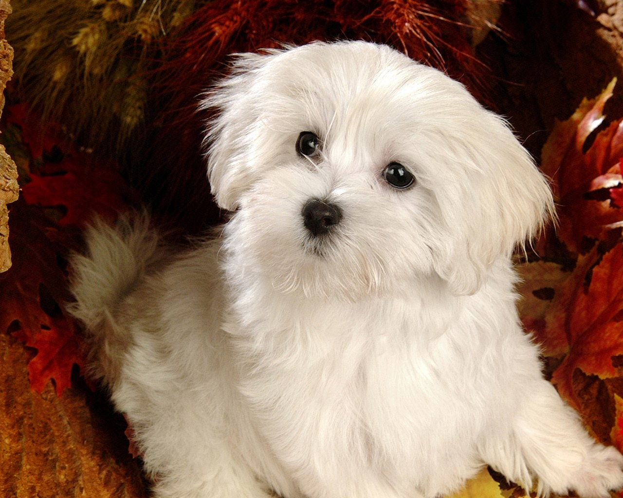 Fluffy maltese puppy dogs white maltese puppies wallpapers 1280 1024