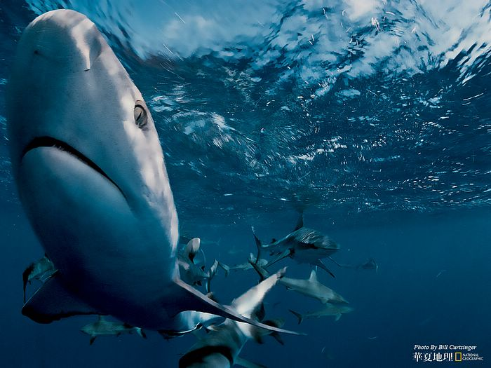 Gray reef sharks national geographic best wild animal - National geographic wild wallpapers ...