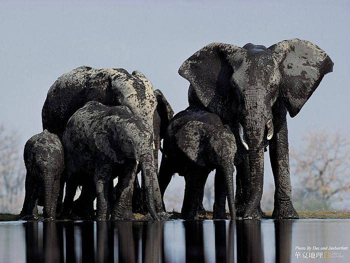 Elephant cows and their young drink from a water hole in - National geographic wild wallpapers ...