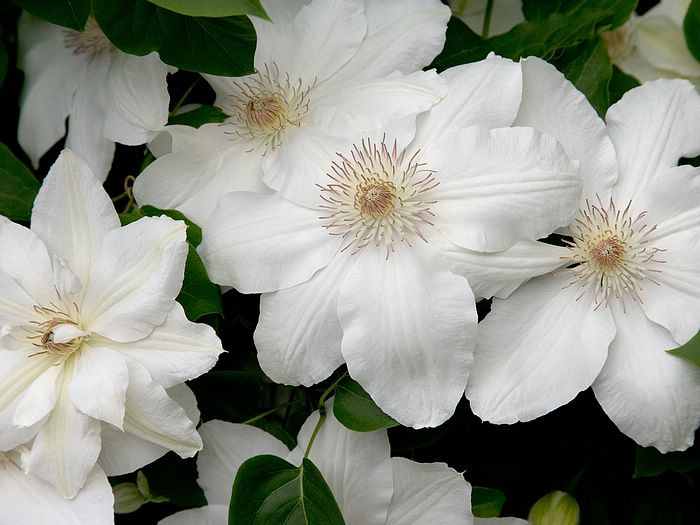 flower wallpaper white clematis 49 wallcoonet