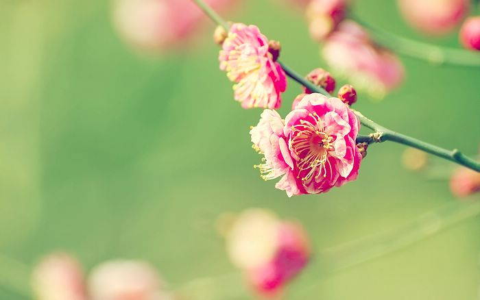 Beautiful Japanese Apricot In Early Spring Wallpaper 6 Wallcoo Net