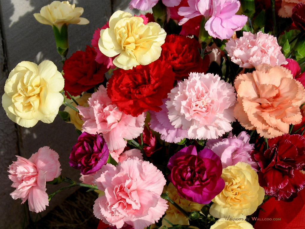 Mother s Day Carnation Flowers Carnation Flowers fpr