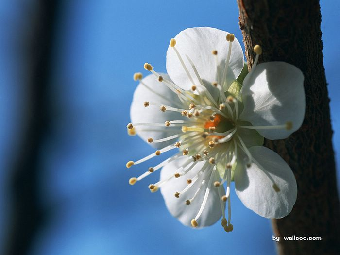 White plum blossom photos 8 wallcoo white plum blossom photos picture 8 mightylinksfo