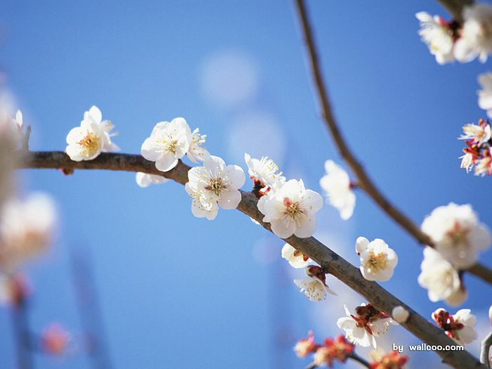 White plum blossom wallpaper 18 wallcoo white plum blossom wallpaper 18 mightylinksfo