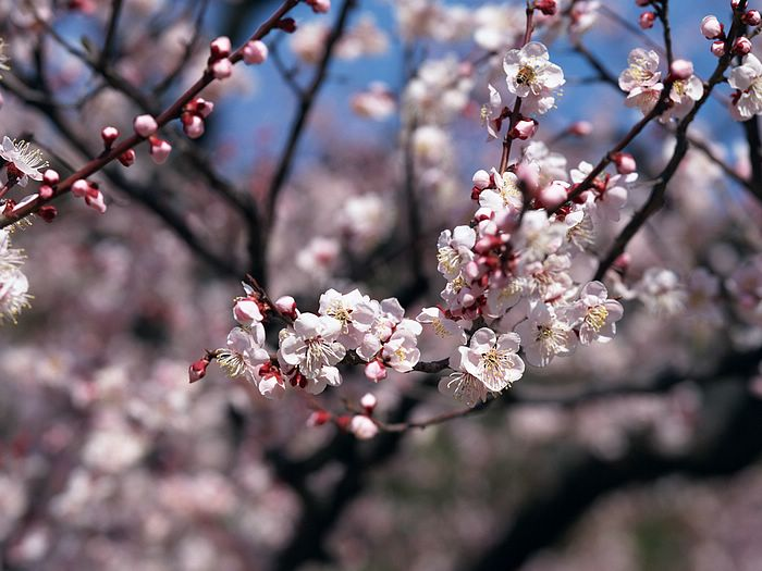 cherry blossom wallpaper. Plum Blossoms spring,