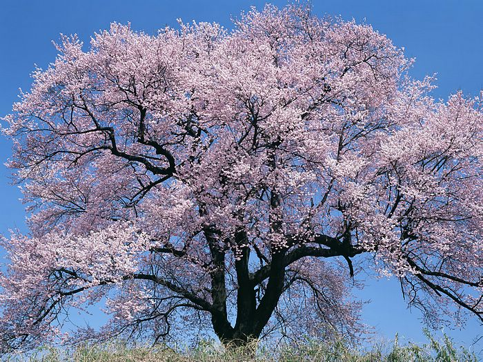 cherry tree in full bloom picture   wallcoo, Natural flower