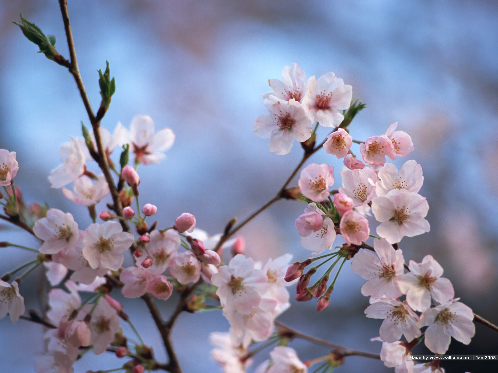 Must see Wallpaper High Resolution Cherry Blossom - Japanese_Cherry_Blossom_wallpapers_GA036  Trends_28143.jpg