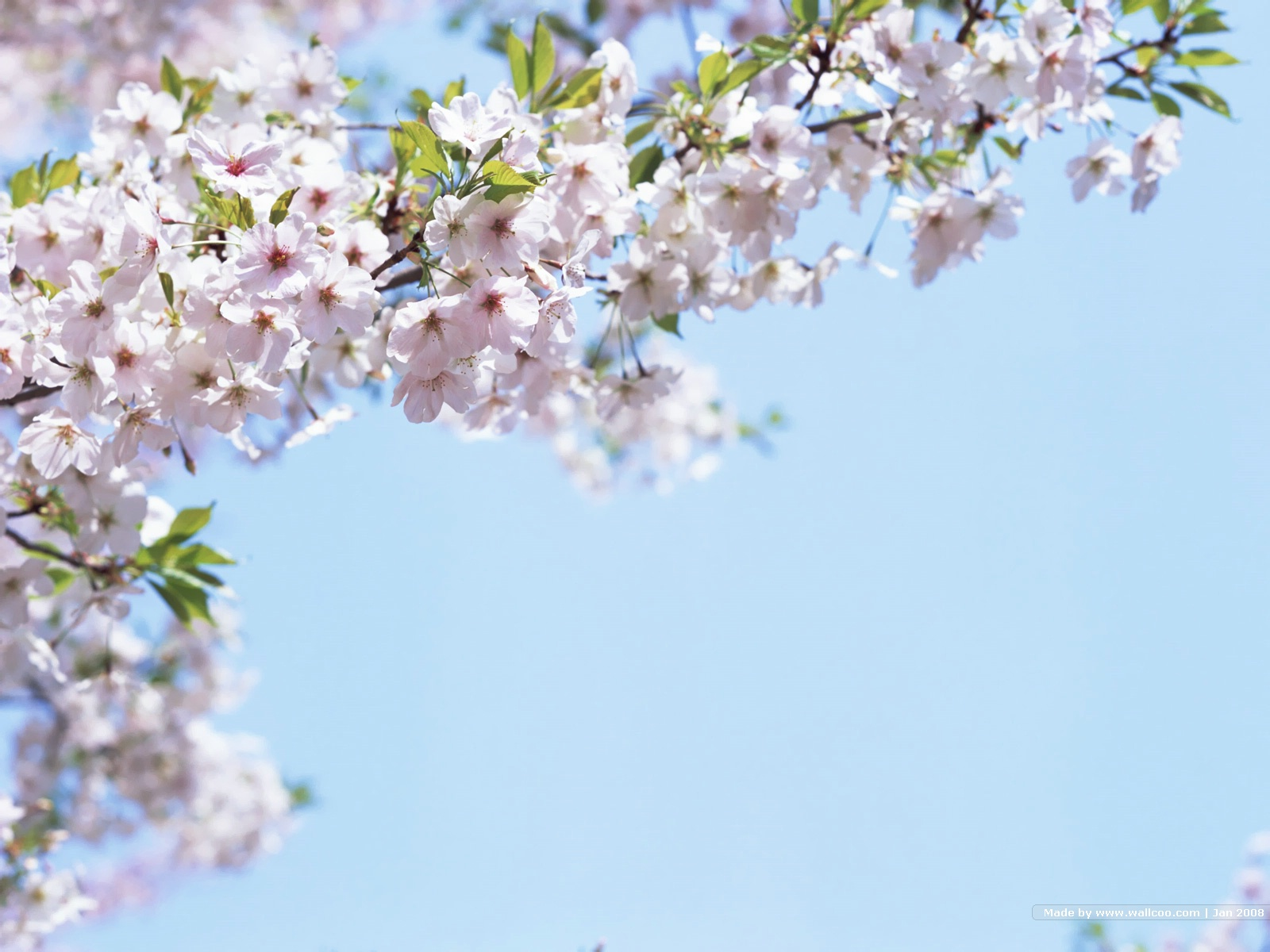 Must see Wallpaper High Resolution Cherry Blossom - Japanese_Cherry_Blossom_wallpapers_GA041  Trends_28143.jpg