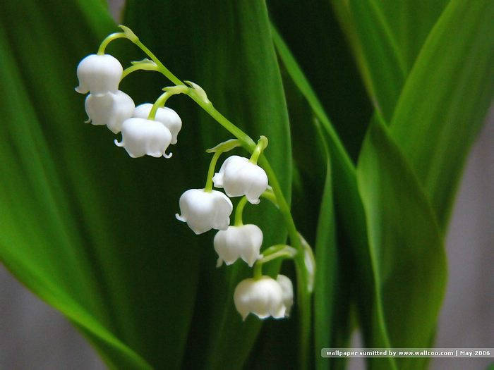 lily of the valley  wallcoo, Beautiful flower