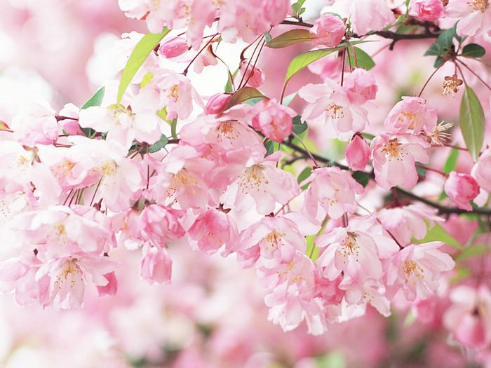 Pink cherry blossom flowers dreamy and sweet 19201600 32 elegant wild flowers pure and sweet vol02 pink cherry blossom mightylinksfo
