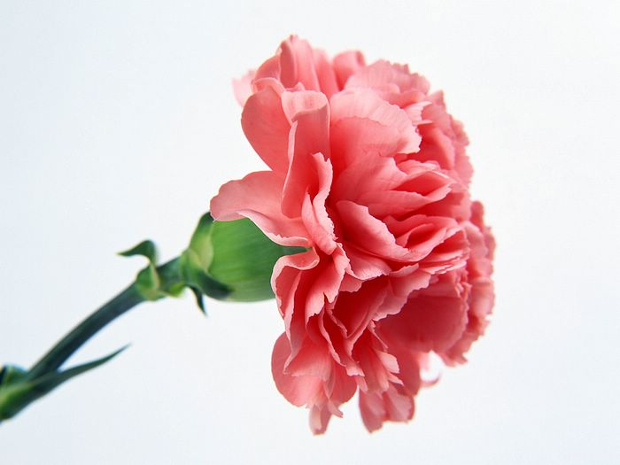 carnation flower tattoos. mothers day flowers pics.