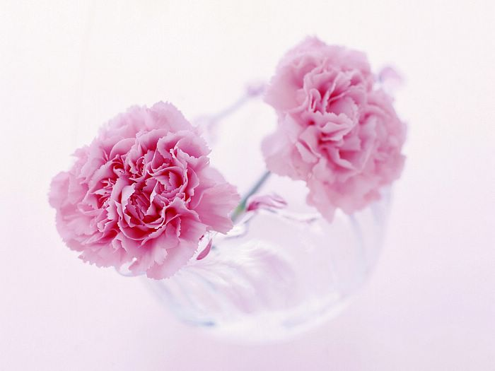 pink flowers background. Pink Carnation Flowers in