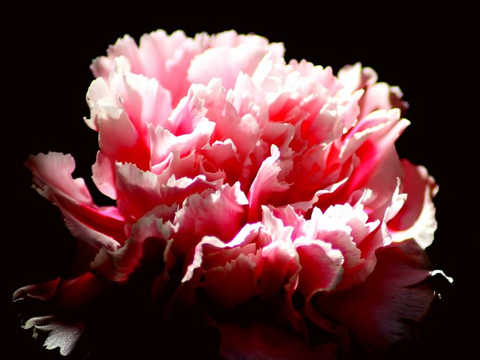 pink flowers background. Carnation Flowers - Pink