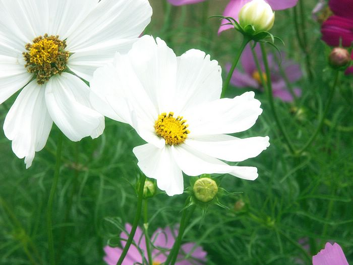 White Cosmos Flower Pictures 8 Wallcoo
