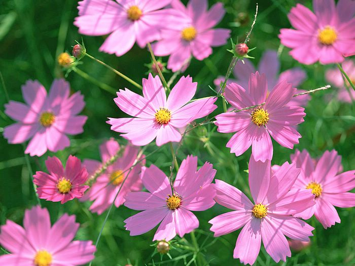 Cosmos Flower Blooming In Field 3 - Wallcoo.