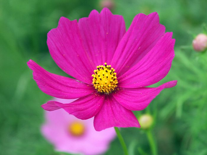Pink cosmos flower close up shot 4 wallcoo pink cosmos flower close up shot picture 4 mightylinksfo Image collections