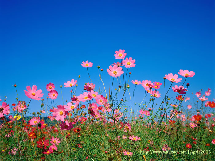 Pink cosmos flowers under blue sky 1 - Wallcoo.
