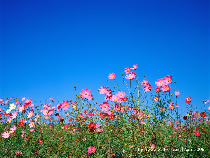 Cosmos flowers : Pink Cosmos under blue sky 3 - Wallcoo.