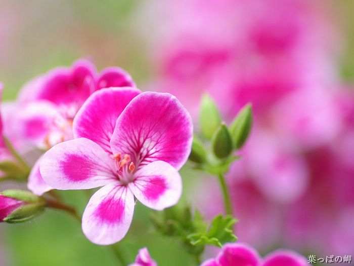 Pink pansies romantic pink pansy flowers 4 wallcoo sweet flowering hd flower photography vol05 pink pansies romantic mightylinksfo
