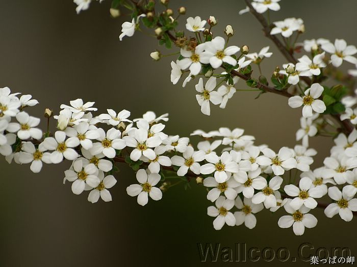 White Flowers On Tree Hd Flower Photography 19201600 37
