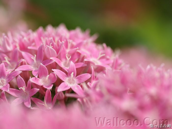 Soft pink flowers hd flower photography 19201600 2 wallcoo flowering season hd flower photography vol10 soft pink flowers mightylinksfo