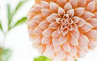 Brilliant Dahlia Flowers33 pics
