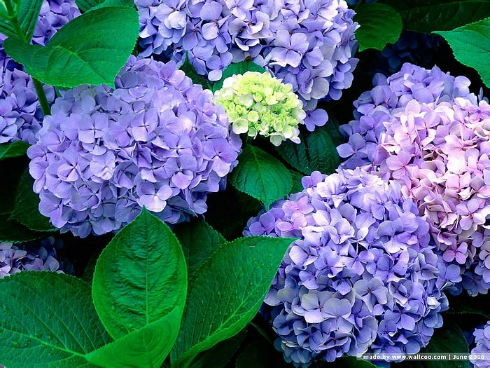 blooming hydrangea flowers wallpapers  wallcoo, Beautiful flower