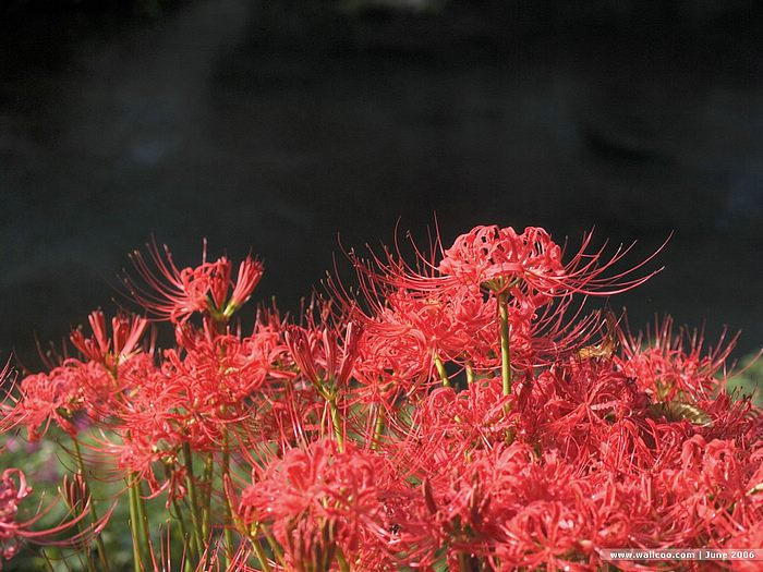 Red spider lily flower wallpapers Picture 6