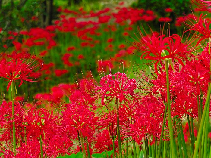 Red spider lily flower wallpapers Picture 9