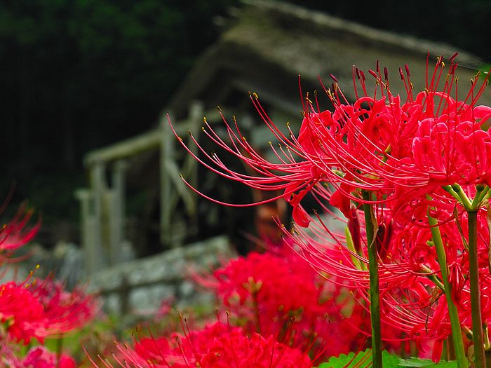 Red spider lily, Lycoris radiata flowers Photo Picture 18