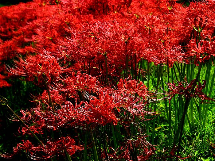 Red spider lily flower wallpapers Picture 24