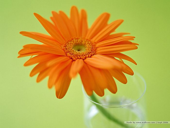 、Orange Gerbera Daisy Flower Portrait 、Gerbera Photo, Gerbera ...