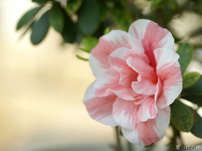 A beautiful pink and white flower 9 wallcoo flowering plants hd flower photography vol02 a beautiful pink and mightylinksfo
