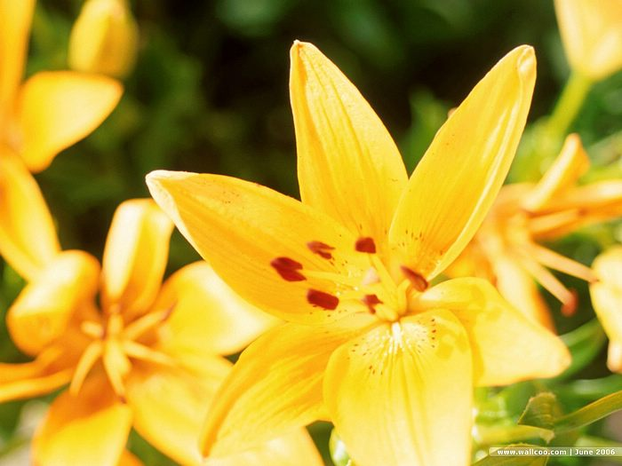 summerblooming flowers  beautiful lilies  wallcoo, Natural flower
