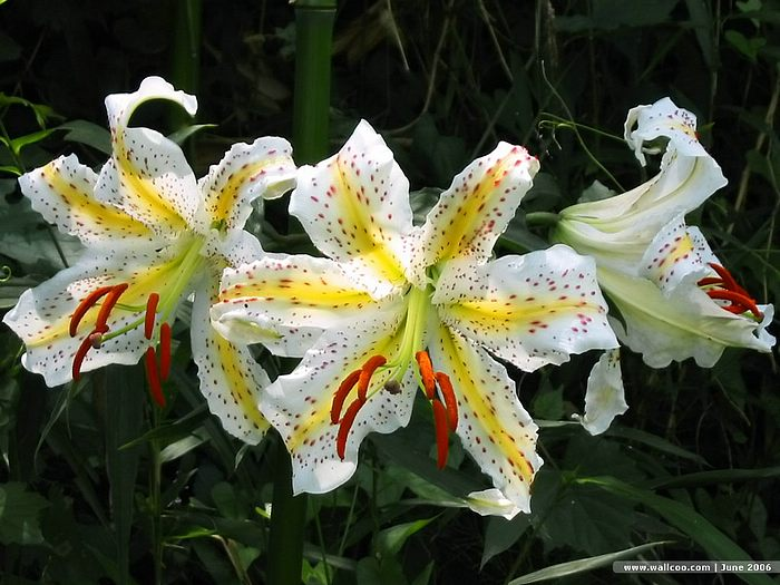summerblooming flowers  beautiful lilies  wallcoo, Beautiful flower