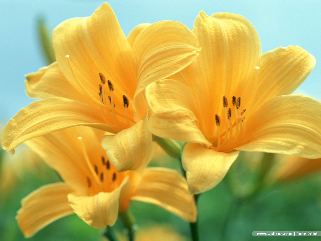 Digital Flower Photography Lily Flowers Lilies Flowers 1024x768