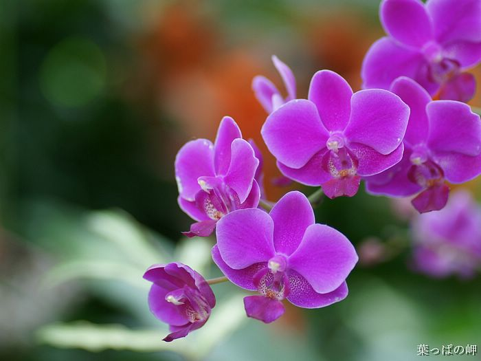 Hd Pictures Of Flowers Pink Orchid HD Flower