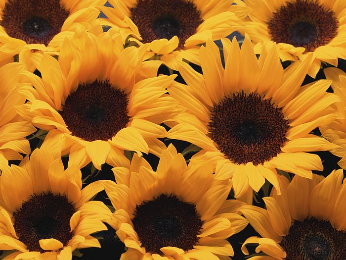 Flowers and Background - Sunflowers Background Picture 9